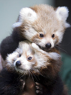 Red Panda Twins in Berlin: Photo