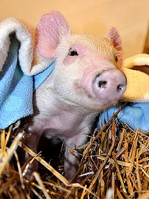 Resilient Piglet Survives Flooding and Finds Sanctuary