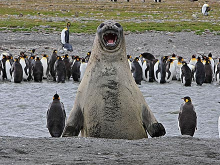 Photobomb! Elephant Seal Barges Into Penguin Group Shot