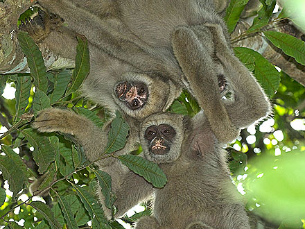 Monkey Moms Find Girlfriends for Sons