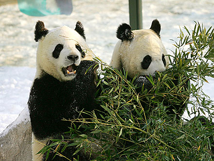 Giant Pandas Debut at Edinburgh Zoo in Scotland