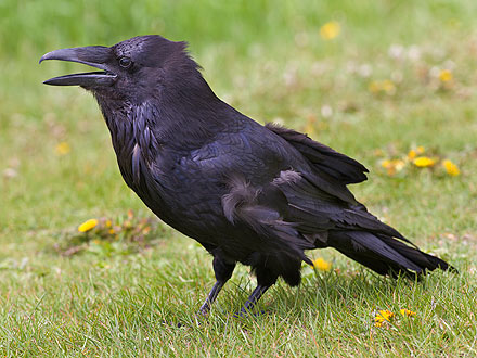 Ravens Can Recall Interactions with Humans