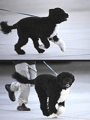 Bo Obama Sprints Across the Tarmac!