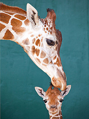 Cute Photos: Baby Giraffe Enjoys Time with Mom