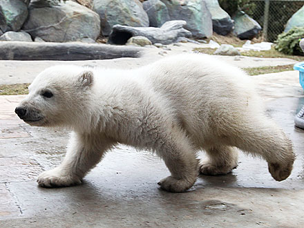 Cute Photos! Polar Bear Cub Makes His Debut