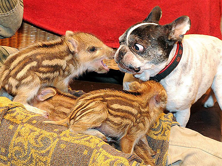 French Bulldog Steps In to Care for Orphaned Piglets
