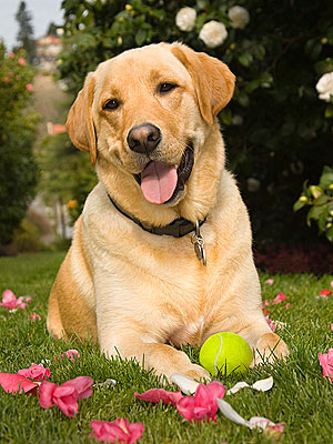 Labrador Retriever Most Popular Dog Breed in 2011