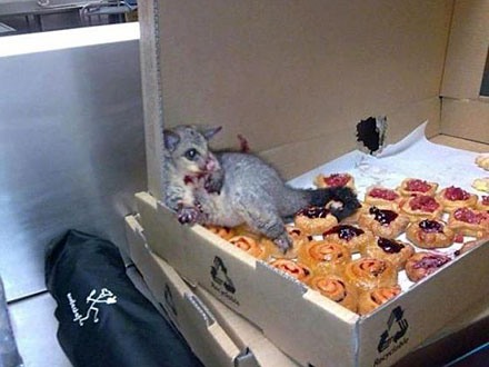 Possum Breaks Into Bakery