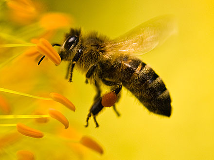 Honeybee Die-Offs Linked to Insecticide