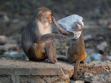 Monkey Population Overtaking New Delhi, India