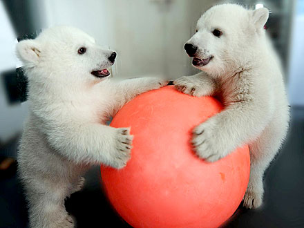 So Cute! Polar Bear Twins Mark Their First 100 Days