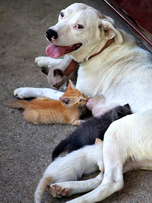 English Bulldog Cares for Orphaned Kittens