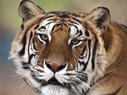 Michael Jackson's Tiger Dies