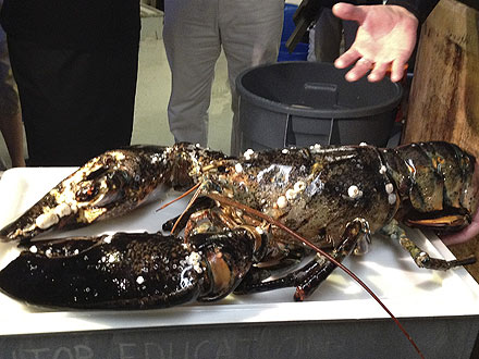 21-Lb. Lobster Settles Into New Home