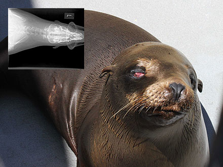 Blind Sea Lion Doing Well After Getting Shot in Face