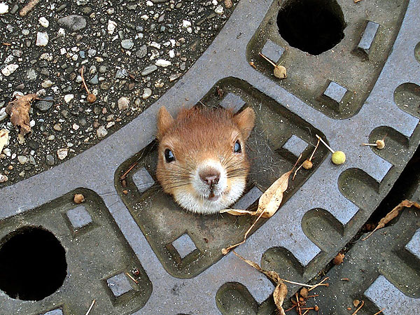 Slick Thinking! Olive Oil Saves Squirrel Stuck in Manhole Cover