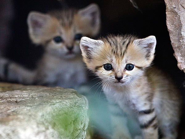 Cute Photo: Super Rare Sand Kitten Pokes Her Head Out