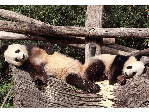 Photos giant pandas trade cuddles in birthday celebration