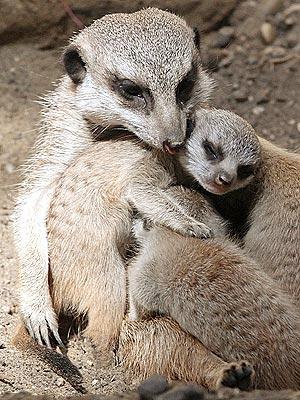 Aww! Baby Meerkats Hug Mom