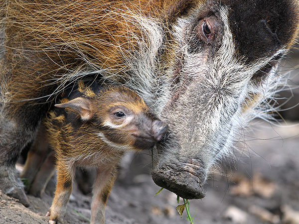 Aww! Newborn Red River Hog Nuzzles Its Mother