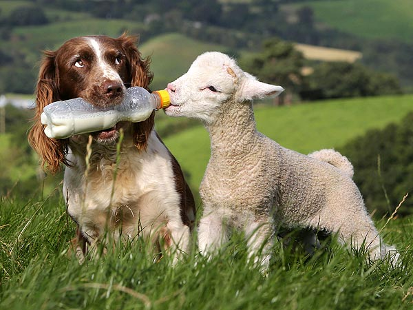 Jess the Sheepdog Bottle-Feeds an Orphaned Lamb