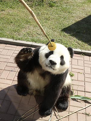 Panda Eats Mooncake for Mid-Autumn Festival