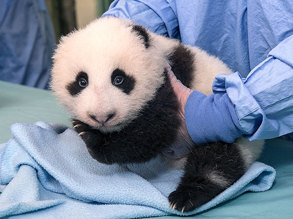 Baby Panda Update: Eyes Are Fully Open!