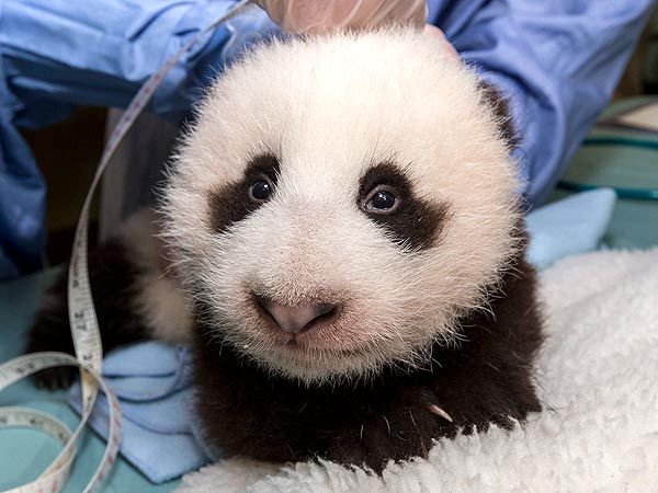 Squee Alert! Watch San Diego Zoo Panda Cub Take His First Steps
