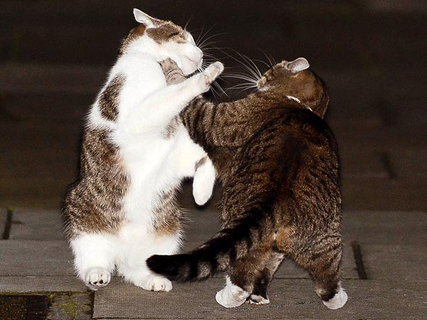 Larry the Downing Street Cat Gets in Fight