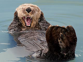 Funny Photo! Otter Screams &#8211; Just Like the Painting