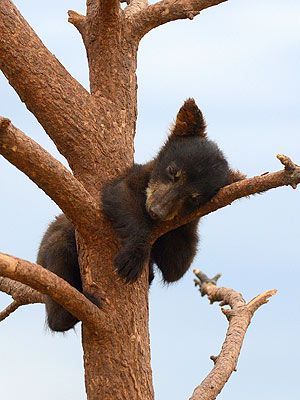 Daredevil Bear Cub Naps – on a Tree Branch