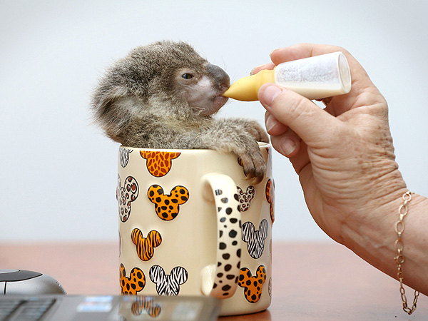OMG! Baby Koala (in a Mug) Drinks from a Dropper