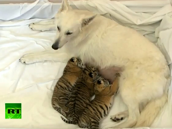 Shepherd Dog Nurses Three Tiger Cubs at Russian Zoo