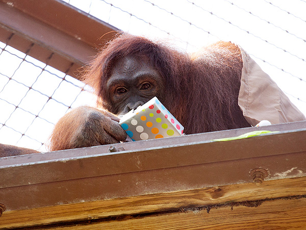Peanut the Orangutan Finishes Chemotherapy, Celebrates Birthday