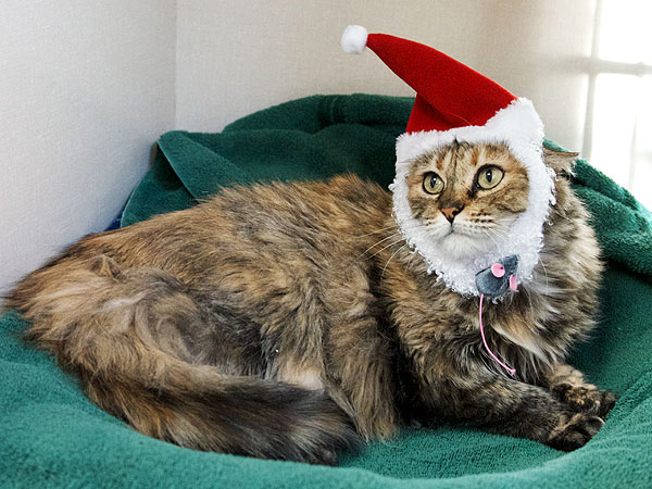Adopt Me! Senior Cat Tasha Wants a Home for Christmas
