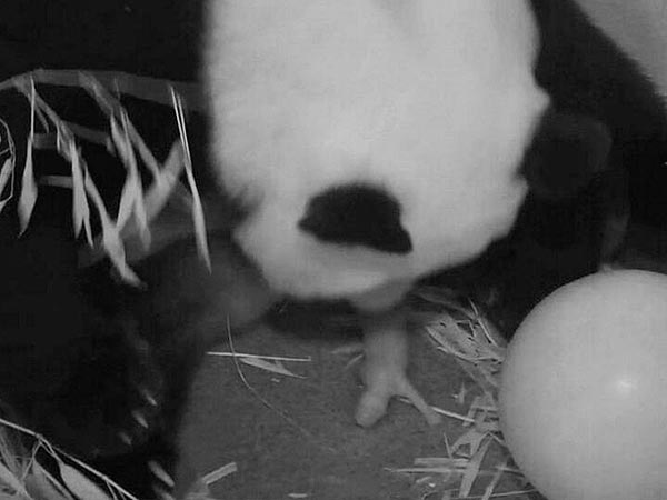 Giant Panda Mei Xiang Gives Birth at Washington's National Zoo