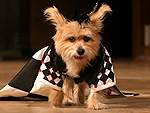 5 Dogs Who Rule the Catwalk
