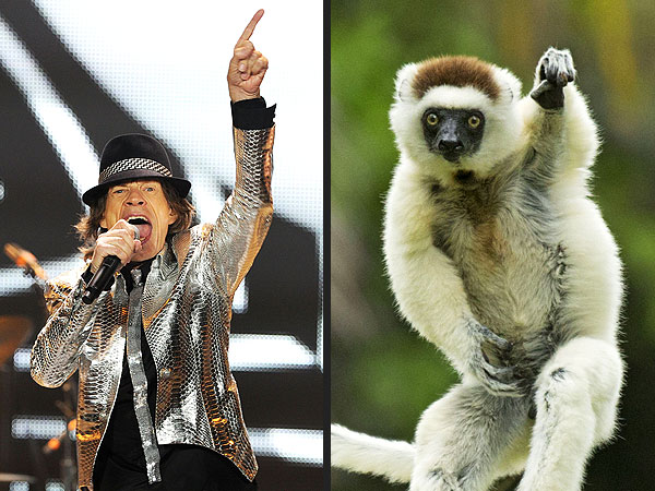 Monkey Has Moves Like Mick Jagger: Photo