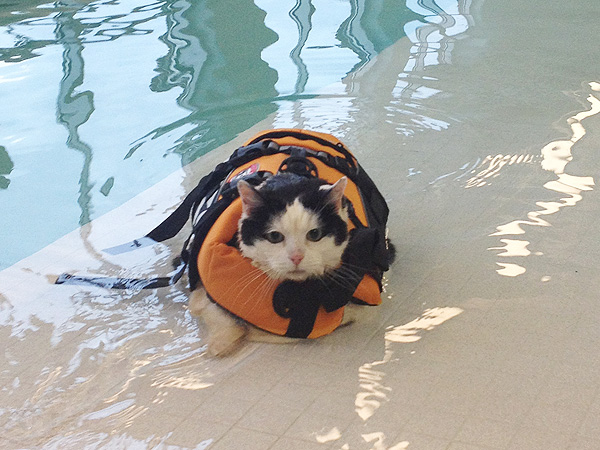 Fat Cat Swims to Lose Weight: Photo