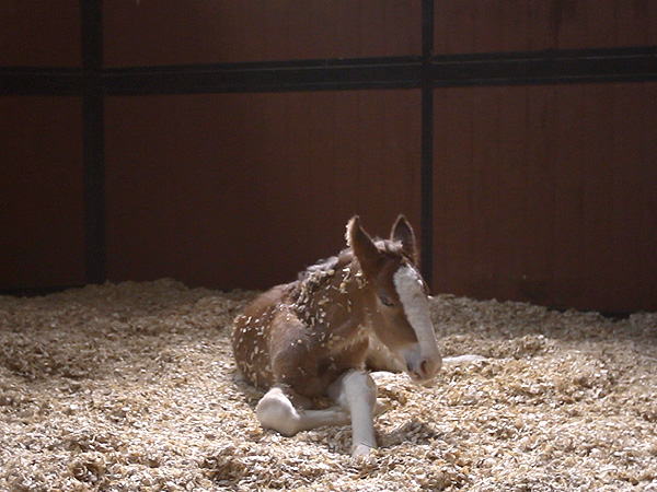 Budweiser Super Bowl Clydesdale Ad Makes Stars Cry