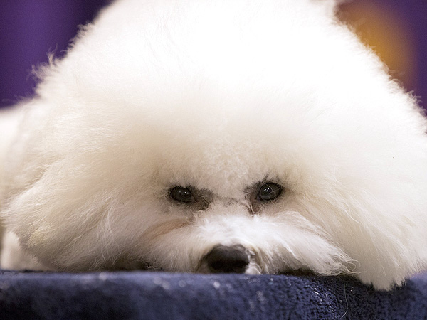 Westminster Kennel Club Dog Show 2013: Photos
