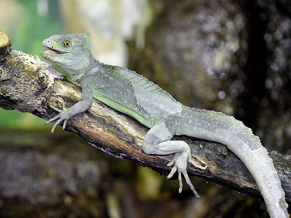 Plumed Basilisk at Whipsnade Zoo: Photo