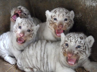 The Daily Treat: White Tiger Cubs Will Sing You a Song