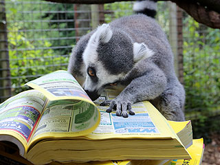 The Daily Treat: Lemur Tries His Hand at Telemarketing
