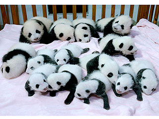The Daily Treat: Pandas Sleeping In a Crib Are Cuter When There's 14 of Them