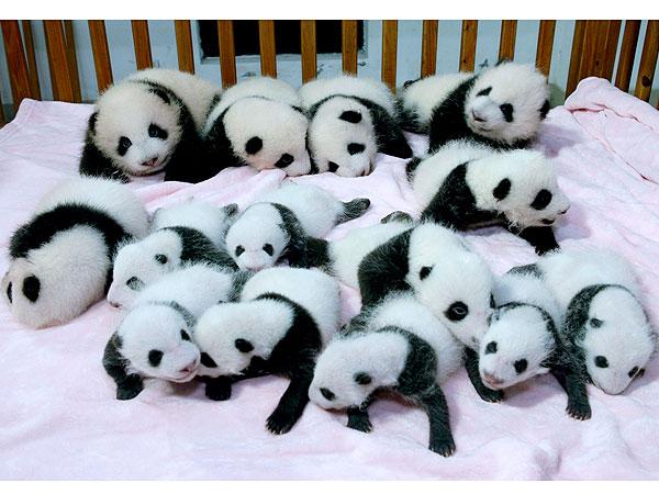 Baby Pandas Sleeping in Crib in China: photo