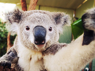 The Daily Treat: Koalas Are Taking Selfies Now | Animals & Pets, Cute Pets, Exotic Animals & Pets, Funny Pets, Pet News, Talented Pets, Unusual Pets, Zoo Animals