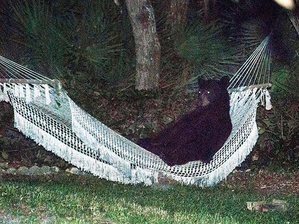 Bear Sits in Hammock in Florida: Video