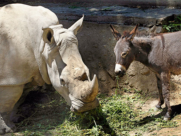 The Daily Treat: Depressed Rhino Befriends Donkey at Zoo