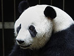 Panda Fakes Pregnancy to Receive More Treats, We're Not Judging
